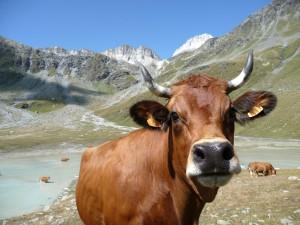 Vache au lac Blanc - Parc National de la Vanoise.